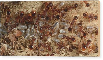 Red Ants With Larvae Wood Print