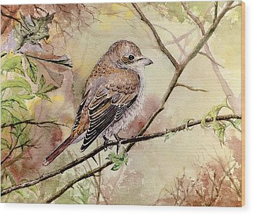 Red Backed Shrike Wood Print by Andrew Read