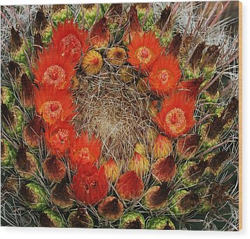 Red Barell Cactus Flowers Wood Print by Tom Janca