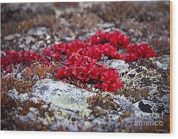 Red Bearberry Wood Print by Chris Heitstuman