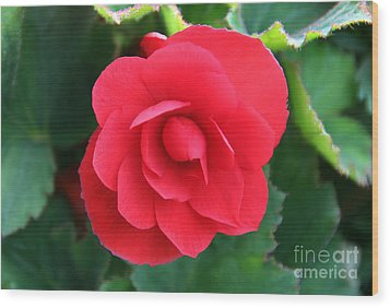 Wood Print featuring the photograph Red Begonia by Sergey Lukashin