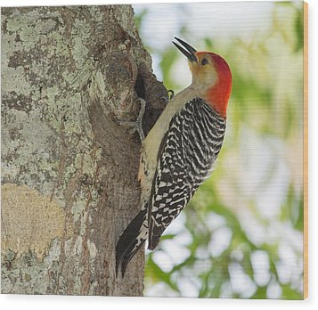 Red-bellied Woodpecker Wood Print by John M Bailey