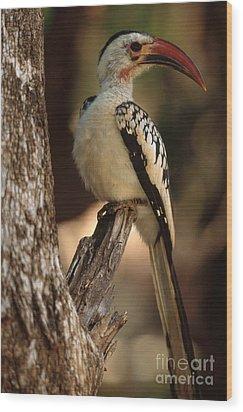 Red-billed Hornbill Wood Print by Art Wolfe