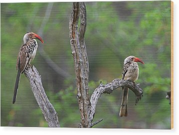 Red-billed Hornbills Wood Print by Bruce J Robinson