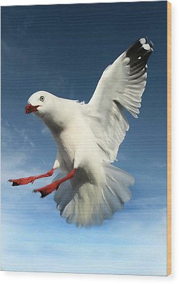 Red Billed Seagull  Wood Print by Amanda Stadther