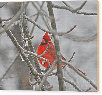Red Cardinal Northern Bird Wood Print