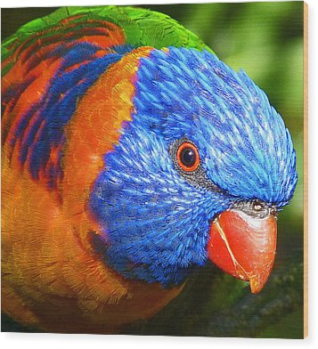 Red Collared Lorikeet Wood Print
