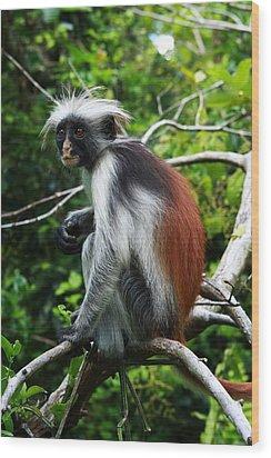 Red Colobus Monkey Wood Print by Aidan Moran