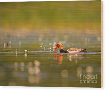 Red-crested Pochard Wood Print