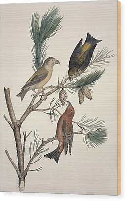 Red Crossbill, 19th Century Wood Print by Science Photo Library