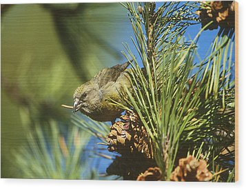 Red Crossbill Eating Cone Seeds Wood Print by Paul J. Fusco