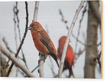 Red Crossbills Perch In A Willow Wood Print by Robert L. Potts