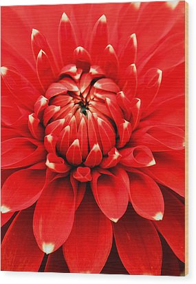 Wood Print featuring the photograph Red Dahlia With White Tips by E Faithe Lester