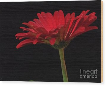 Red Daisy 2 Wood Print