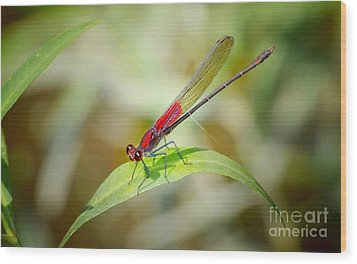 Red Damselfly Wood Print by Peggy Franz
