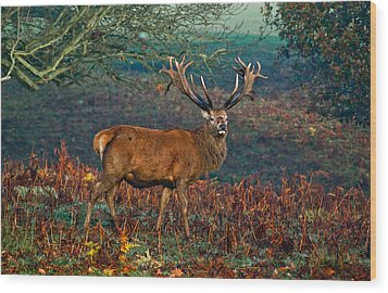 Red Deer Stag In Woodland Wood Print