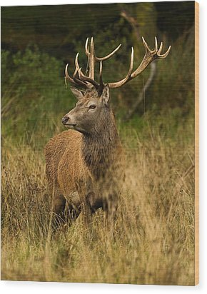 Red Deer Stag Wood Print by Paul Scoullar