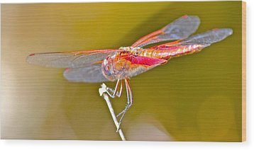 Wood Print featuring the photograph Red Dragonfly by Cyril Maza
