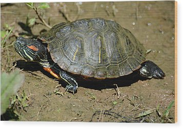 Red Ear Slider Wood Print by Todd Hostetter