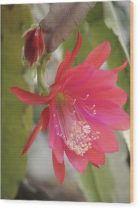 Red Epiphyllum Study Wood Print
