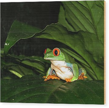 Red Eyed Green Tree Frog Wood Print by MTBobbins Photography