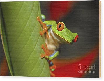 Red Eyed Leaf Frog Wood Print by Bob Hislop
