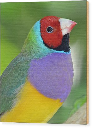 Red Faced Gouldian Finch Wood Print by Richard Bryce and Family