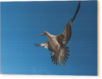 Red-footed Booby (sula Sula Websteri Wood Print by Pete Oxford