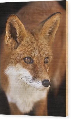 Red Fox  Wood Print by Brian Cross