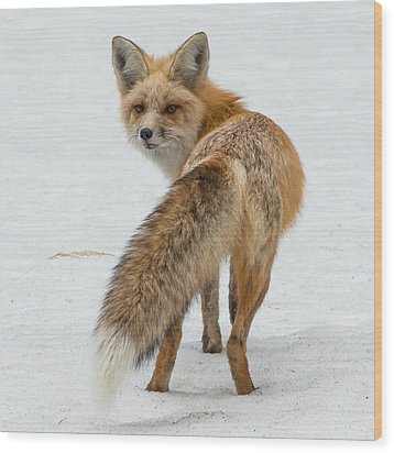 Wood Print featuring the photograph Red Fox Of Silver Gate by Yeates Photography