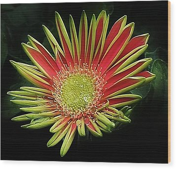 Red Gazania Blossom Wood Print by Bruce Bley