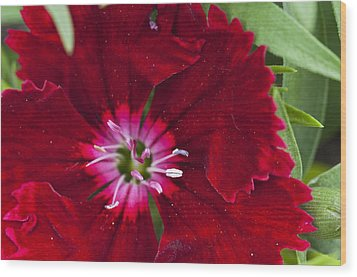 Red Geranium 1 Wood Print by Steve Purnell