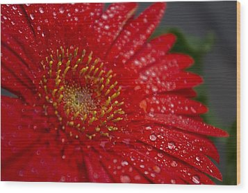Red Gerber In The Rain Wood Print by Shelly Gunderson