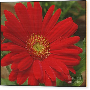 Red Gerbera Daisy Wood Print by James C Thomas