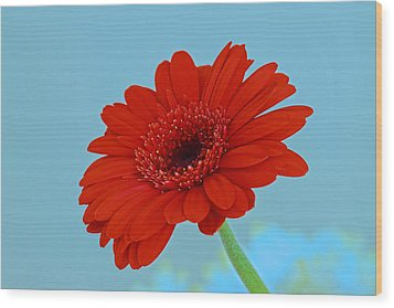 Red Gerbera Daisy Wood Print