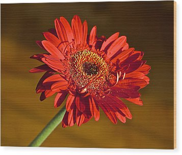 Red Gerbera Wood Print by Venetia Featherstone-Witty