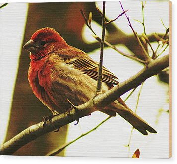 Wood Print featuring the photograph Red Headed House Finch by B Wayne Mullins