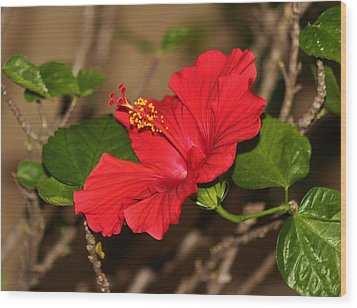 Red Hibiscus Flower Wood Print by Cynthia Guinn