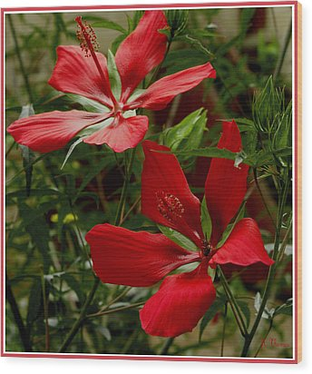 Red Hibiscus Blooms Wood Print