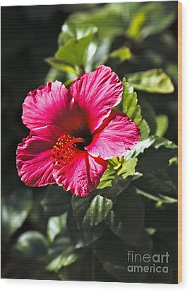 Red Hibiscus Wood Print by Robert Bales
