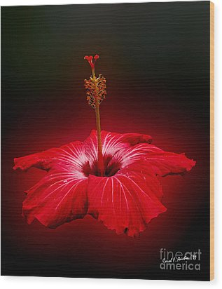 Red Hibiscus Tropical Flower Wood Print by Carol F Austin