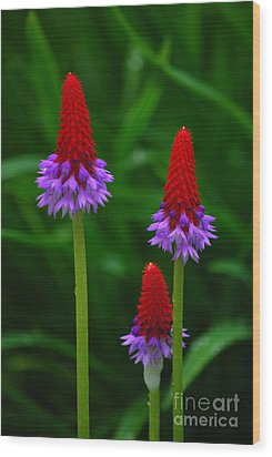 Wood Print featuring the photograph Red Hot Pokers by Cynthia Lagoudakis