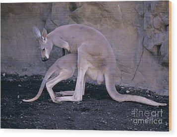 Red Kangaroo. Australia Wood Print by Art Wolfe