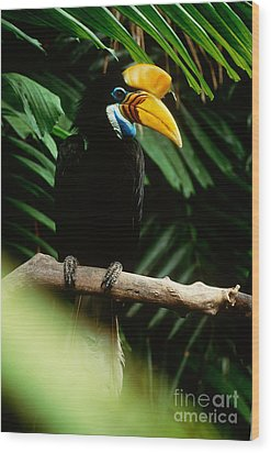 Red-knobbed Hornbill Wood Print by Art Wolfe