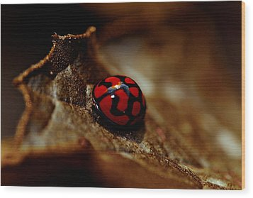 Red Lady Bug Wood Print by Isabel Laurent