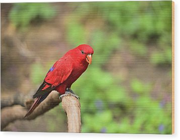 Red Lory Wood Print by Photography  By Sai