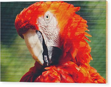 Red Macaw Closeup Wood Print by Pati Photography