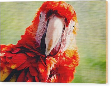 Red Macaw Wood Print by Pati Photography