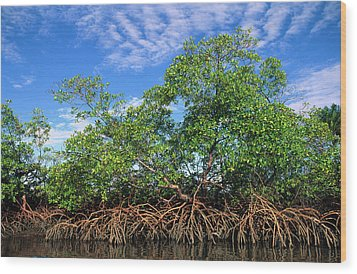 Red Mangrove East Coast Brazil Wood Print by Pete Oxford