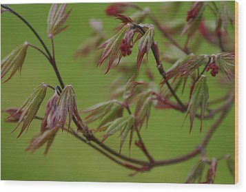 Wood Print featuring the photograph Red Maple by Kelly Hazel